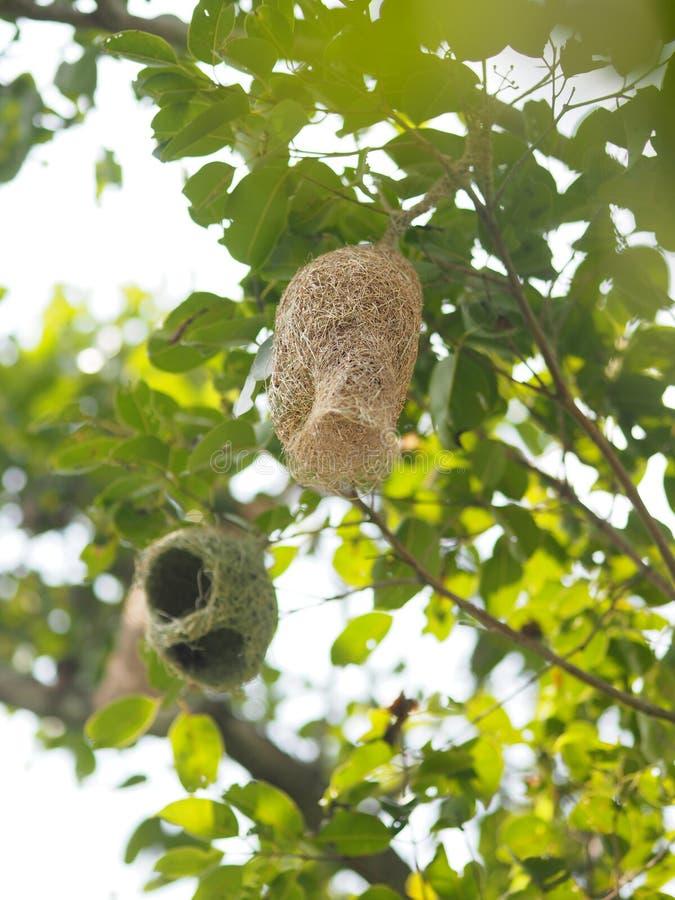 Redefågeln Weaverbird hänger på filialträdet royaltyfri foto