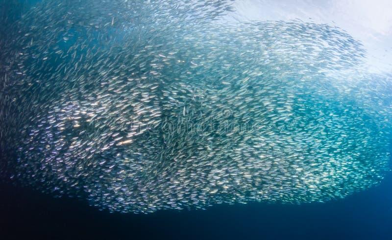Redemoinhos das sardinhas subaquáticas fotografia de stock royalty free