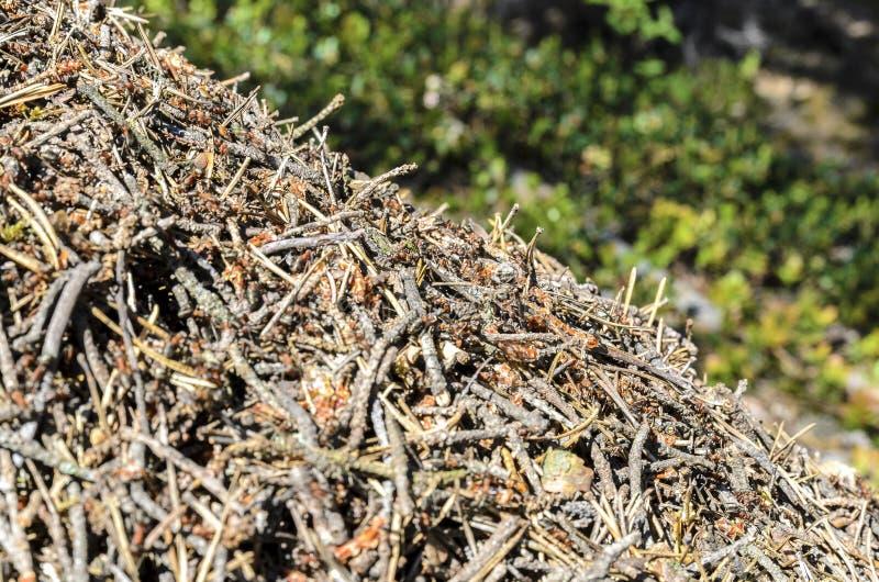 Redet i ett gr?nt pinjeskogh?rn av en stor myrakulle av skogmyror arkivbilder