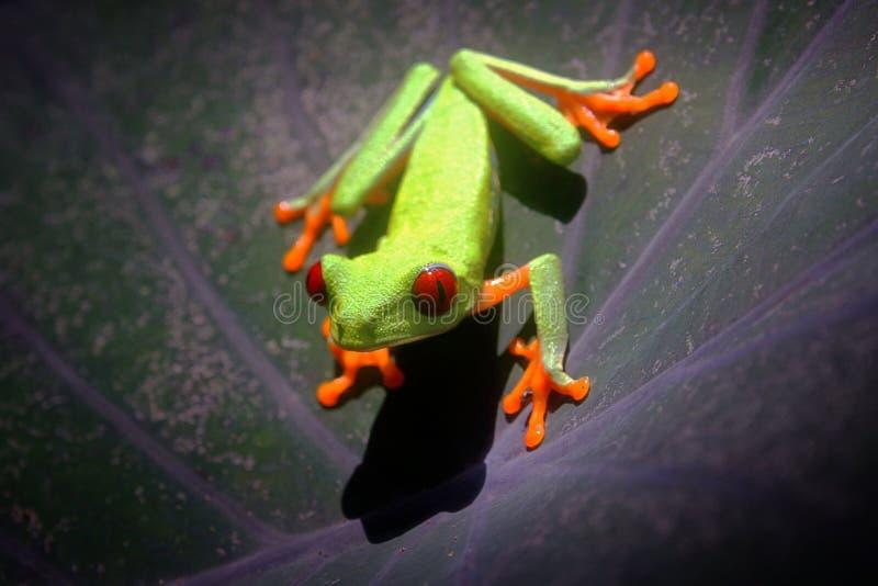 Redeyed Treefrog zdjęcia royalty free