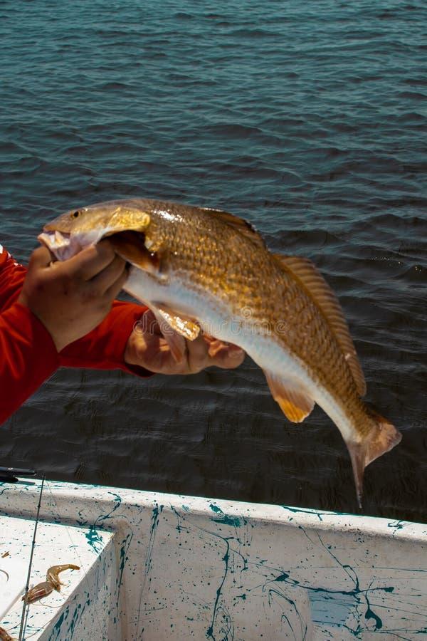 Redfish obraz stock