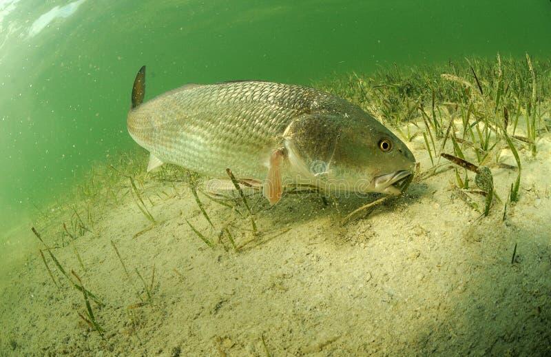 Redfish i havet royaltyfria bilder