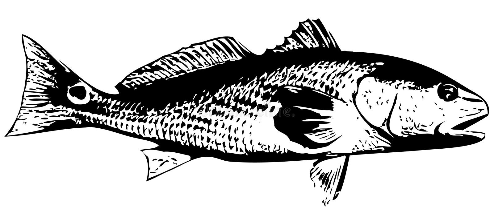 Redfish (Red drum) fish - vector stock illustration