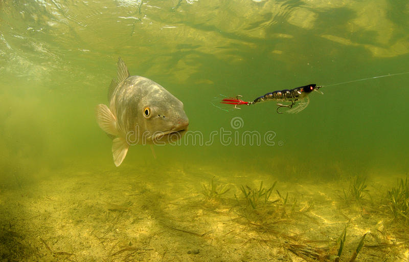 Redfish underwater chasing lure royalty free stock image