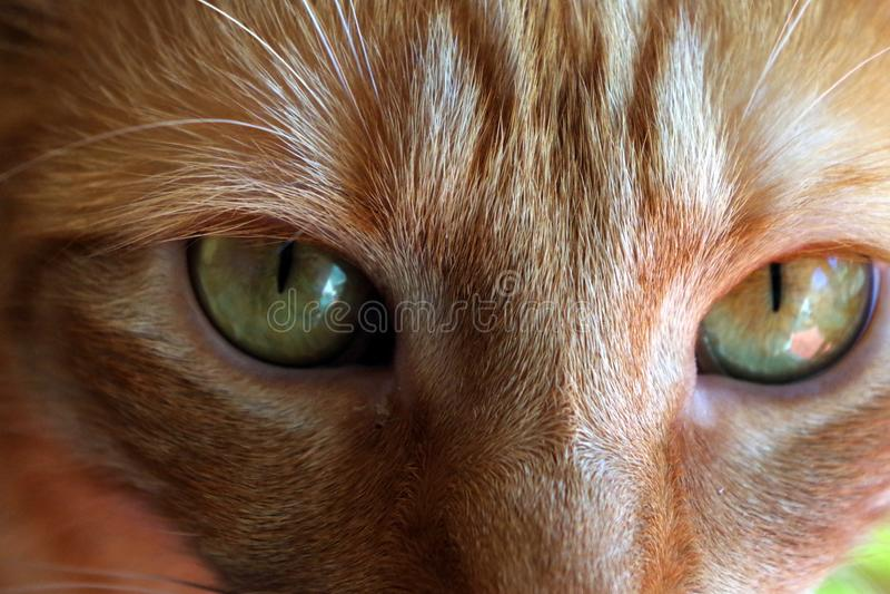 Redhead γάτα στοκ εικόνες