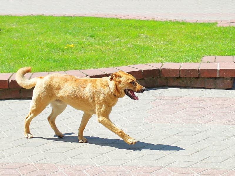 Redhead σκυλί που τρέχει μέσω του πάρκου στοκ εικόνες με δικαίωμα ελεύθερης χρήσης