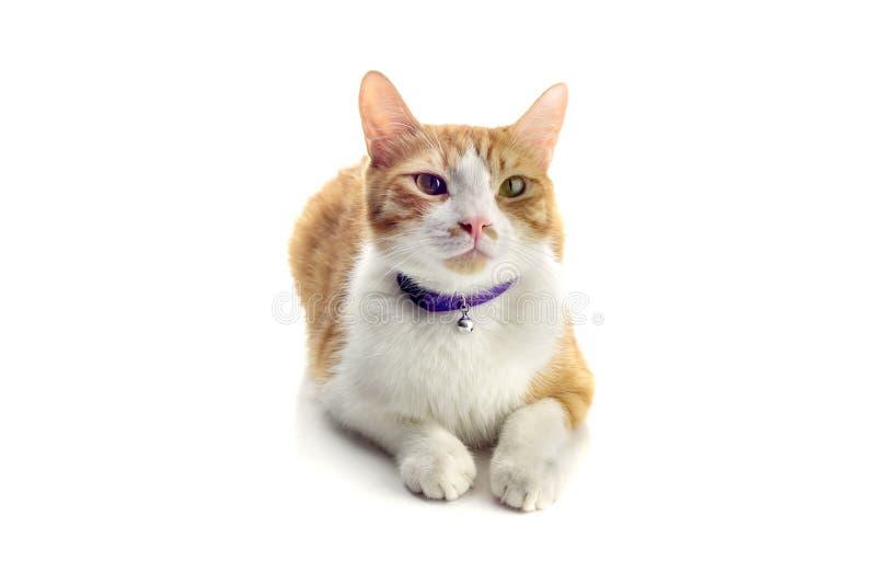 Redhead с белым концом-вверх кота меха стоковое изображение