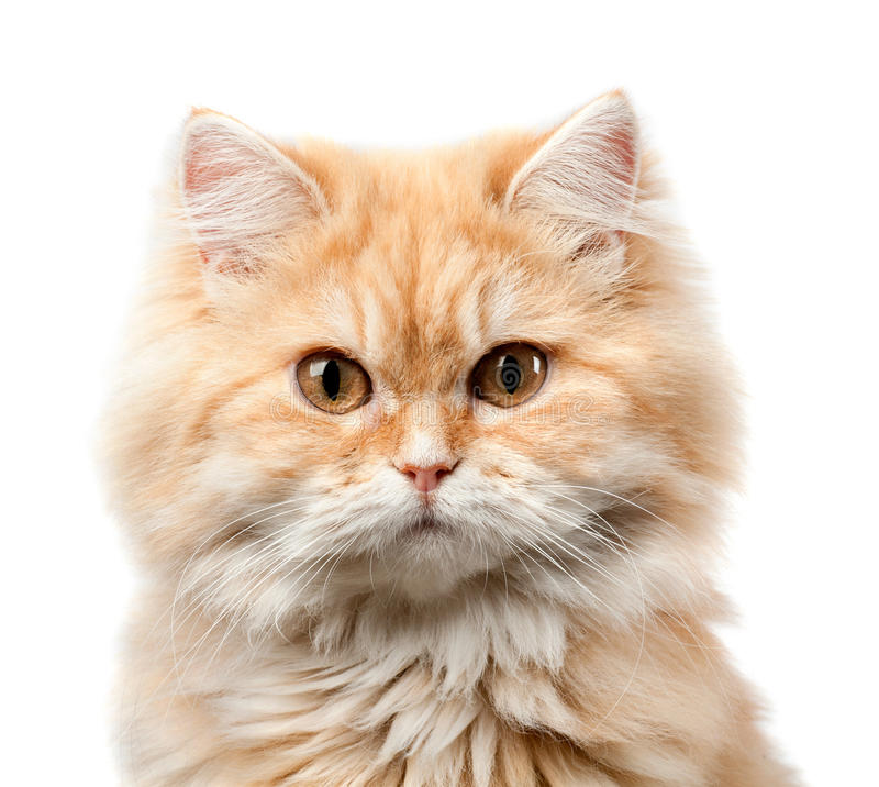 Download Redhead hairy cat portrait stock image. Image of closeup - 36140247