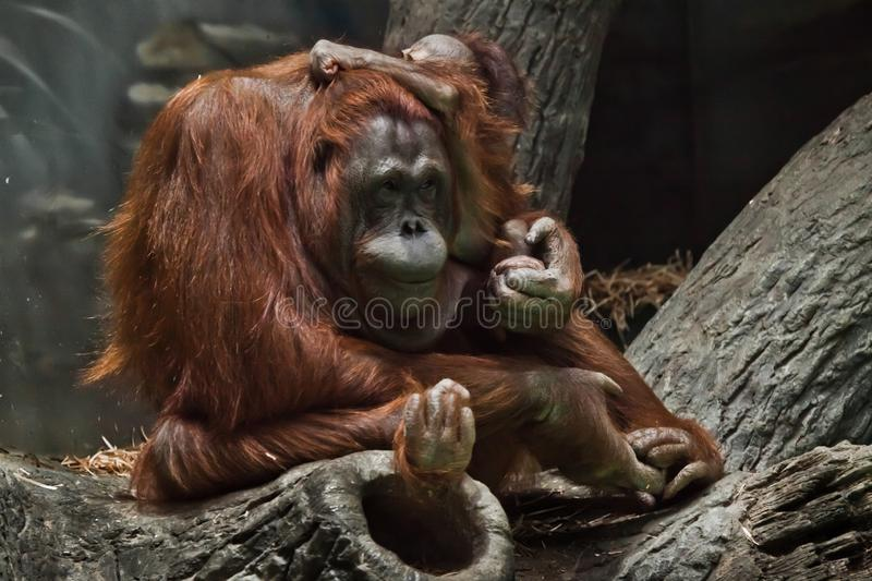 Redhead monkey orangutan mother with a child sitting on the branches of a tree, Bornei orangutan stock image
