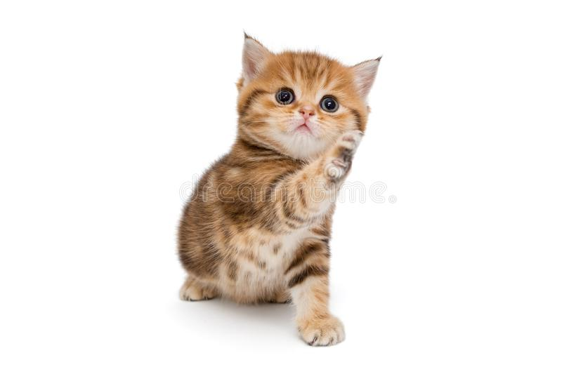 Redhead playful British kitten stock photography
