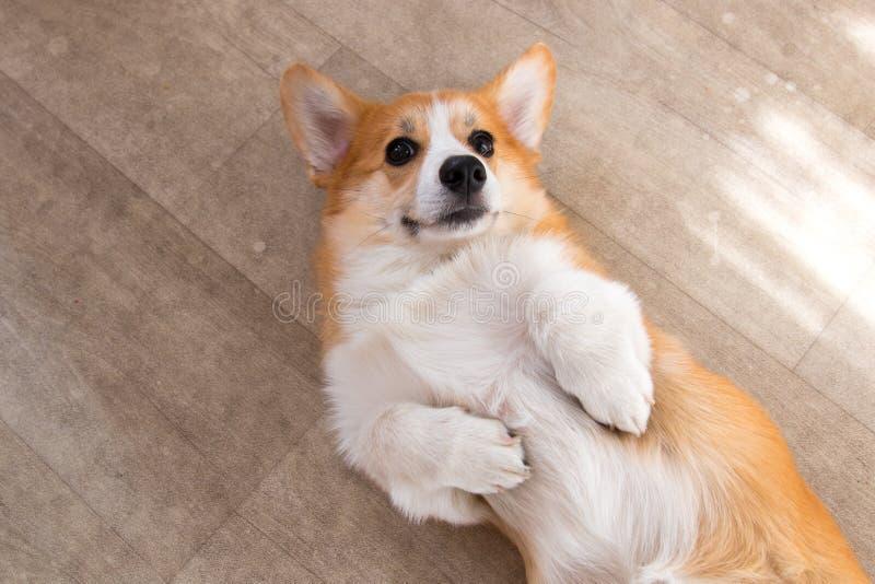 Redhead puppy Corgi dog royalty free stock photo