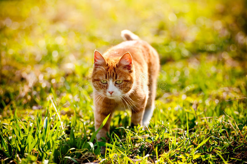 Redheaded Cat On Green Grass Stock Photo