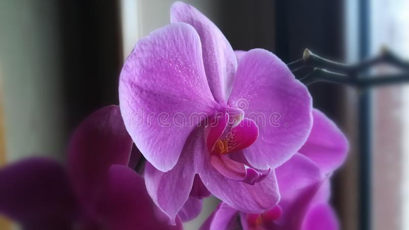 Redigerad Phalaenopsis Blume arkivbilder