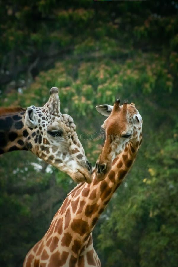 redigerbar full giraffförälskelse för eps arkivfoto