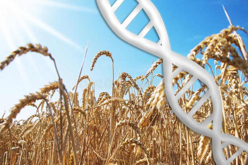 Redigierendes Gen, DNA-Helix mit Weizenfeld stockfotografie