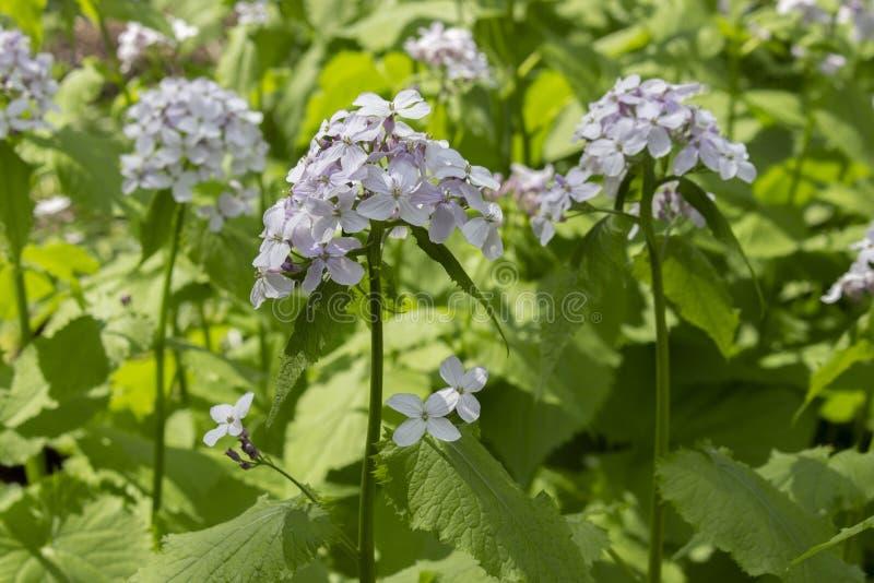 Rediviva Lunaria που ανθίζει τα ιατρικά φυτά, πολλοί μικροί άσπροι μπλε, μακροχρόνιοι μίσχοι λουλουδιών με τα φύλλα Αιώνιες διουρ στοκ εικόνα με δικαίωμα ελεύθερης χρήσης