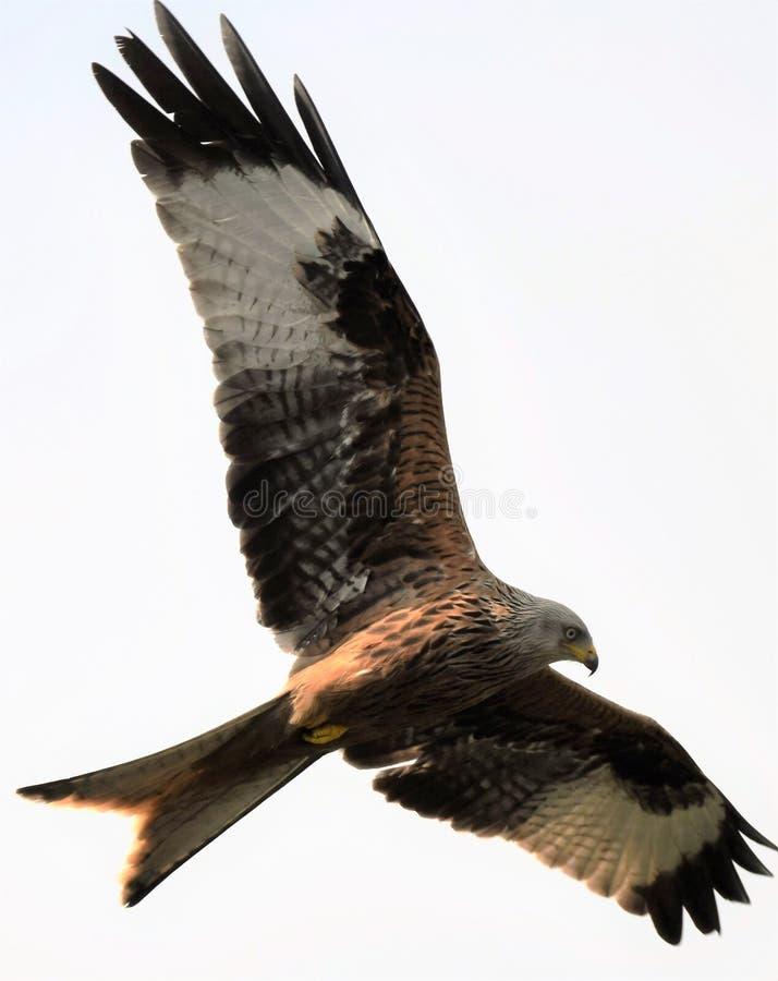 Redkite που πετά στα ύψη πέρα από το σπίτι Harewood, βόρειο Γιορκσάιρ στοκ εικόνες
