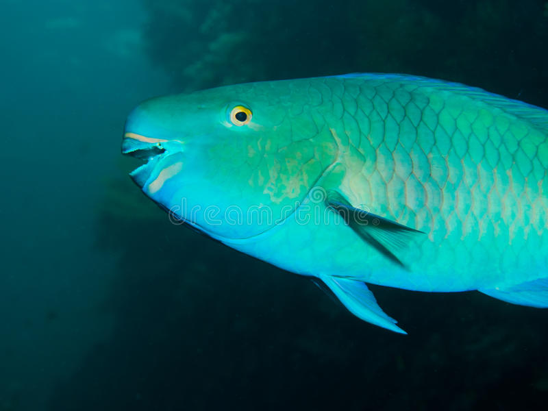 Redlip Parrotfish stock photo. Image of portrait, coral ...