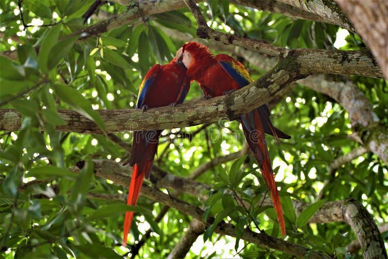 Redmacaws Migdali na przedmieściach Manuel Antonio, Costa Rica zdjęcia stock