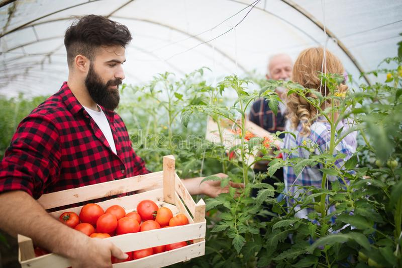 ?redniorolnego rodzinnego zrywania organicznie warzywa w ogr?dzie obraz royalty free