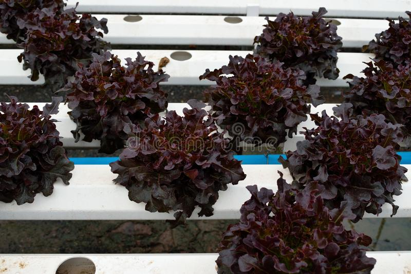 Redoke vegetables at the hydroponics farm , new system to grown. Green vegetables at the hydroponics farm , new system to grown for market royalty free stock image