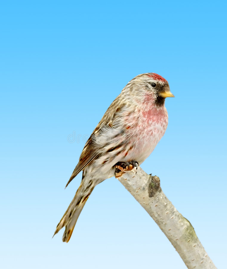 Redpoll royalty free stock image