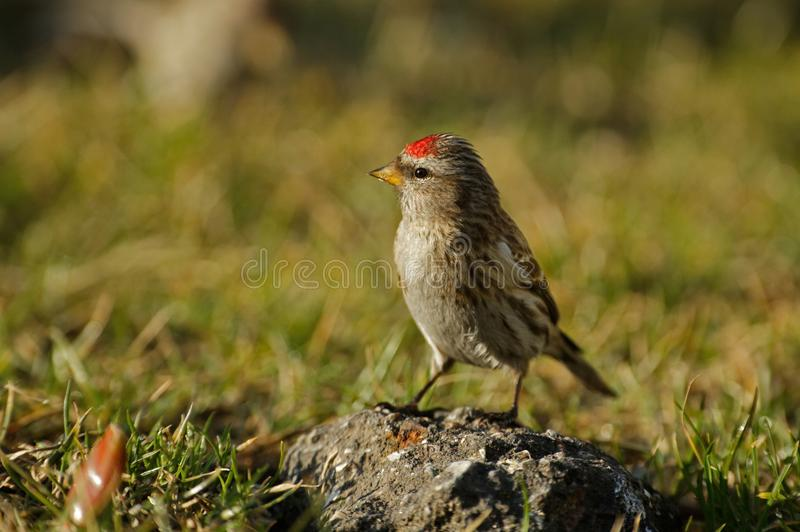 Redpoll Carduelis flammea is sitting on a stone royalty free stock photography