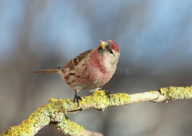 redpoll commun photos stock