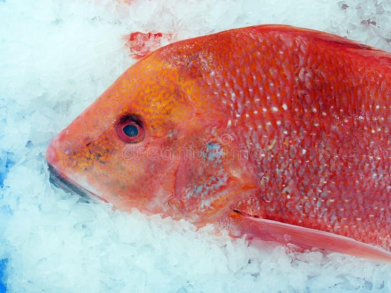 Redr在悉尼鱼市上,澳大利亚 免版税图库摄影