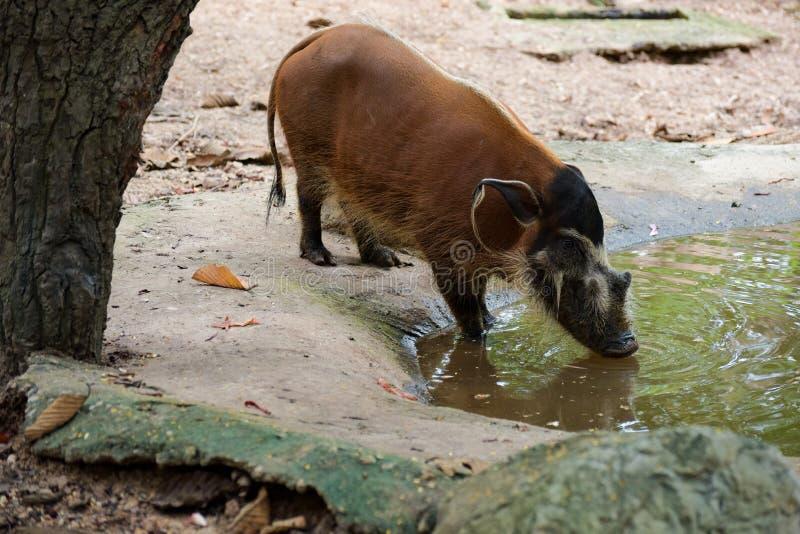 Redriver肉猪在动物园里 免版税库存照片