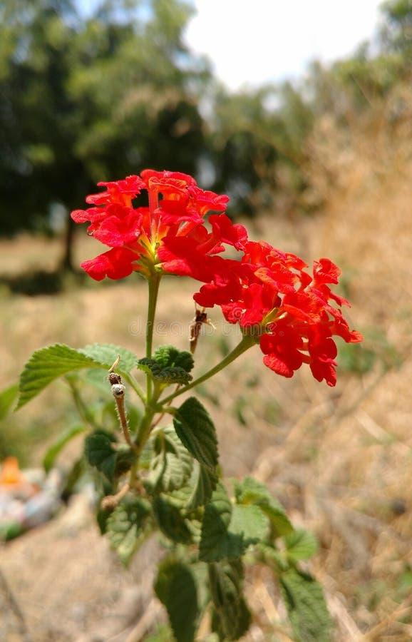 Redrose royalty-vrije stock afbeelding
