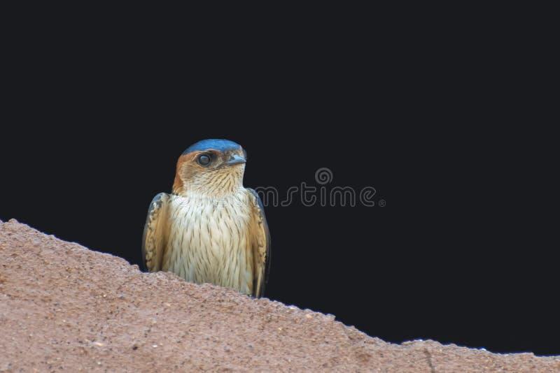 Redrumped-Schwalbe, die über dem Schlamm-Stapel hockt stockfotografie