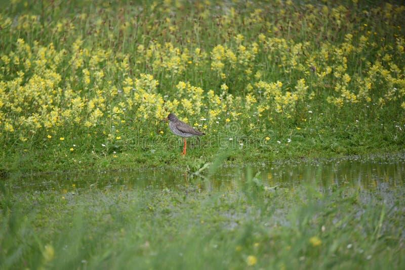 Redshank стоя в поле в Нидерланд в июне стоковое изображение rf