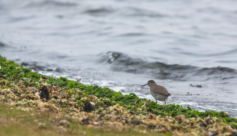 Download Redshank at the beach stock photo. Image of looking, feathers - 28319102