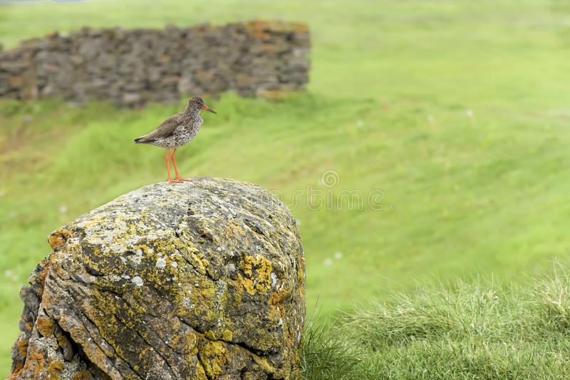 Redshank royalty free stock photography