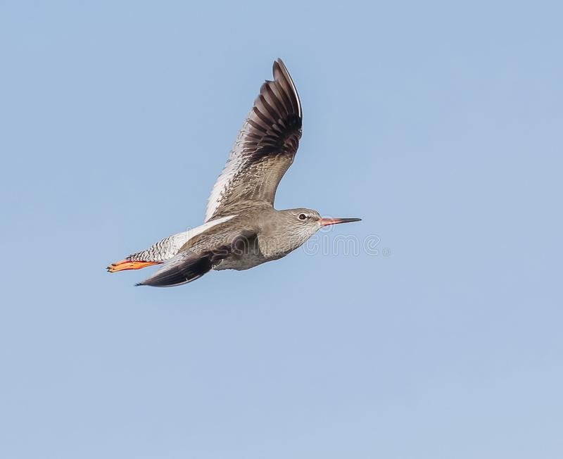 A Redshank in flight royalty free stock images