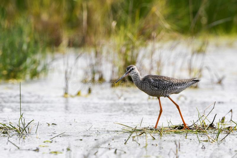 Redshank manchado - erythropus do Tringa imagem de stock royalty free