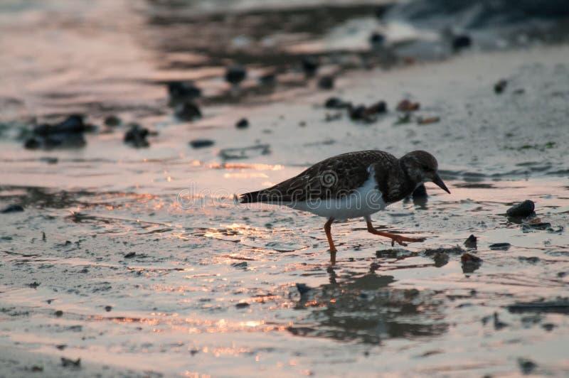 Redshank na praia em Westkapelle foto de stock