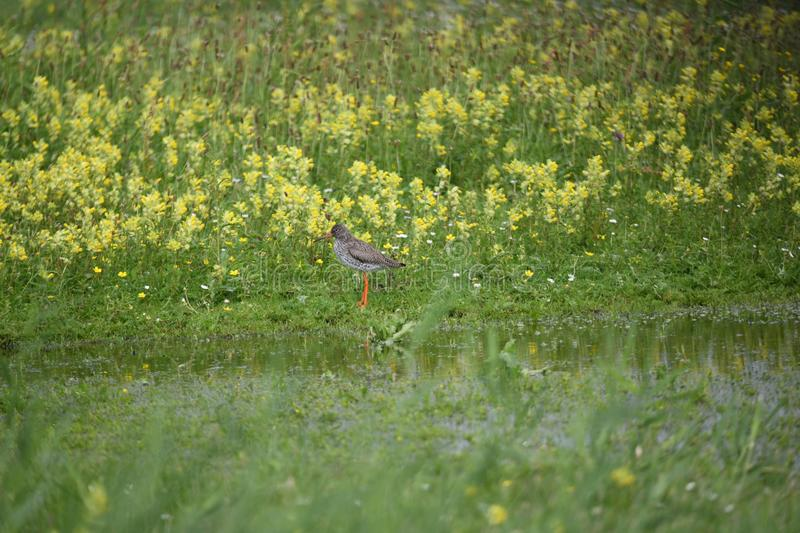 Redshank standing in the field in the netherlands in June royalty free stock image