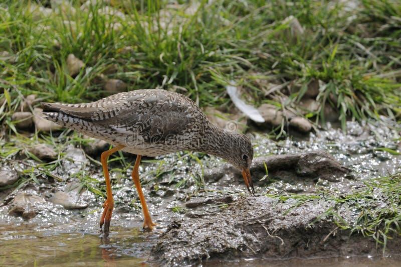 Download Redshank Wader Bird stock image. Image of horizontal - 24390009
