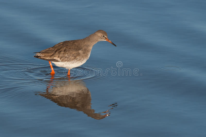 Redshank In Water Stock Images