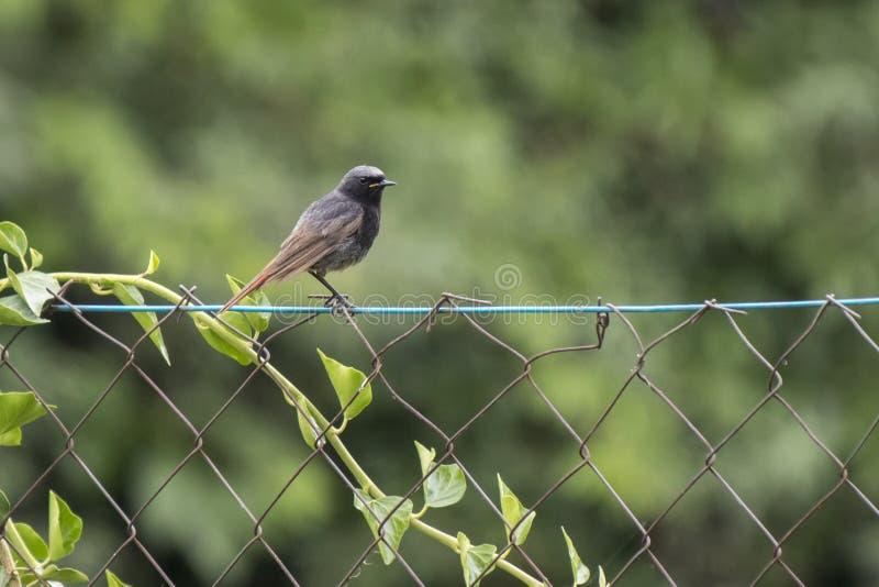 Redstar auf dem Zaun stockfoto