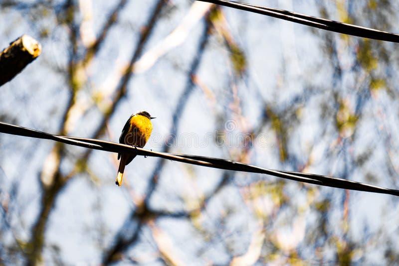 Redstart сидит на парке провода весной стоковое фото
