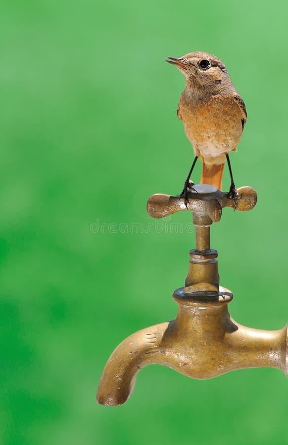 Redstart. photographie stock