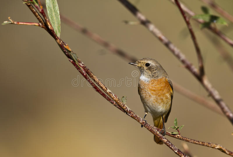 Redstart stock fotografie