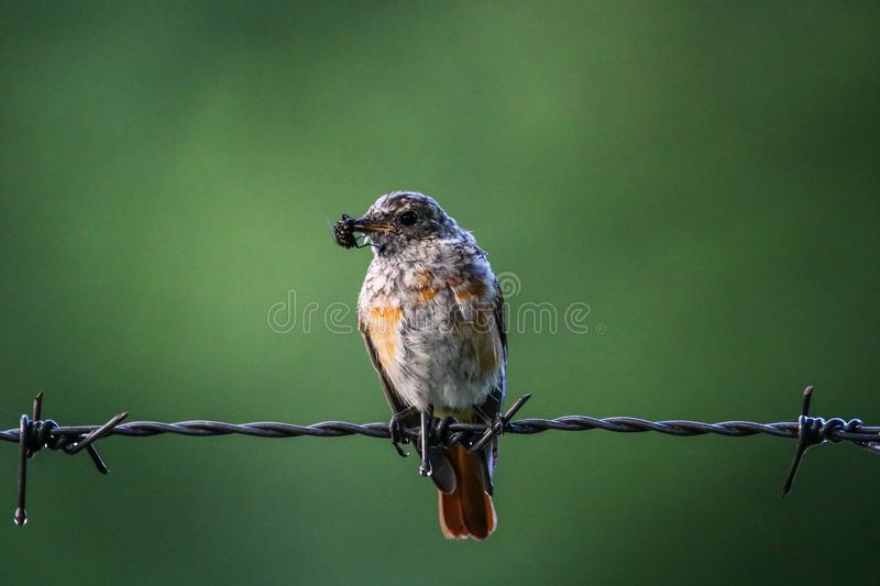 Redstart bird with a fly in the beak. This image was taken early morning in Sinaia, Romania stock photography