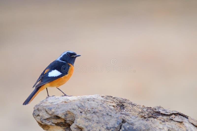 Redstart de Daurian, pájaro que se encarama en piedra como fondo de la fauna imagen de archivo libre de regalías