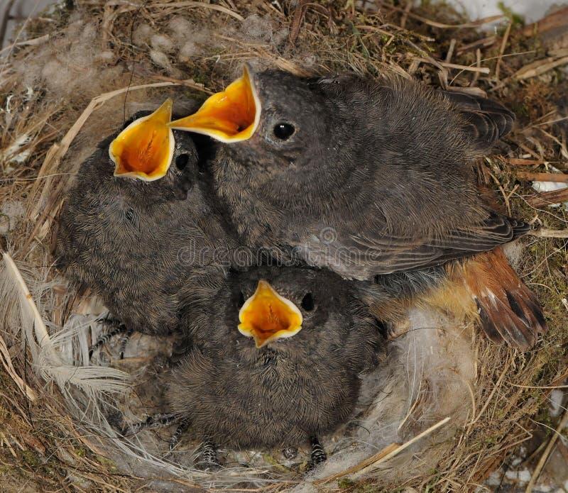 Redstart negro foto de archivo