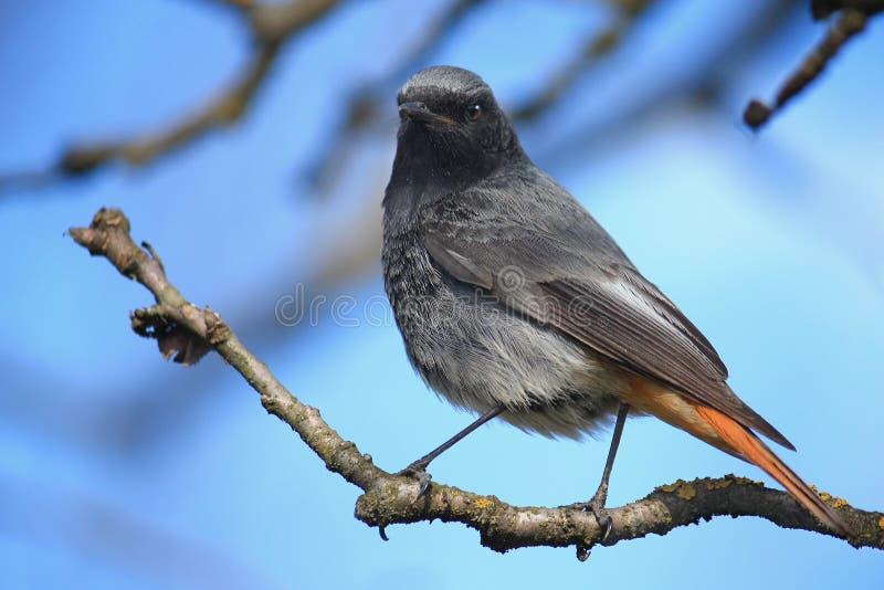 Redstart negro fotos de archivo