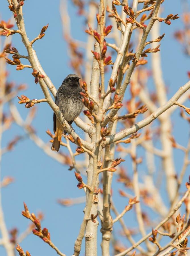 Redstart negro en primavera imagen de archivo